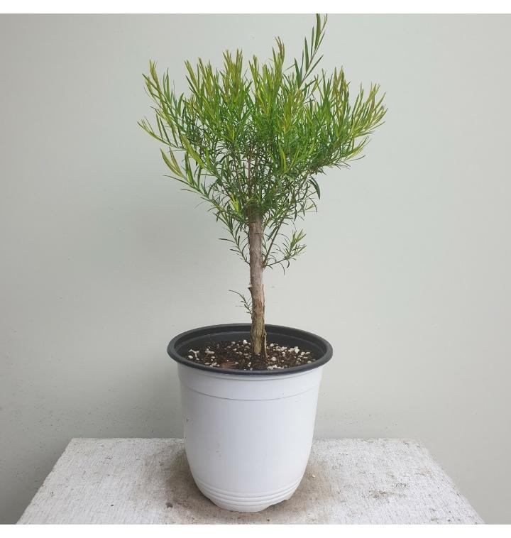 [나인에잇틴]티트리 목대 공기정화식물